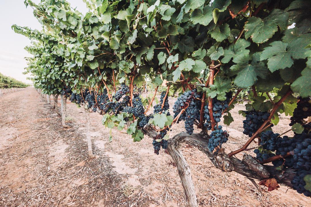 Olive Farm Wines Internet Sized-21.jpg