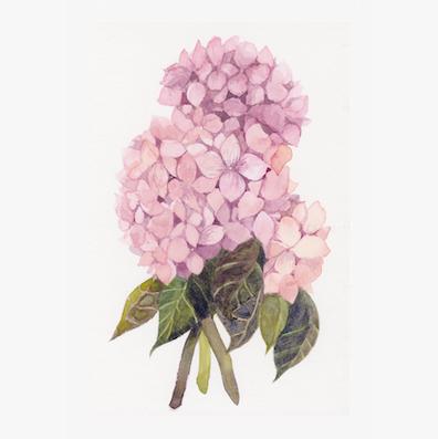 watercolor pink hydragea ajisai 20180320 square version.png