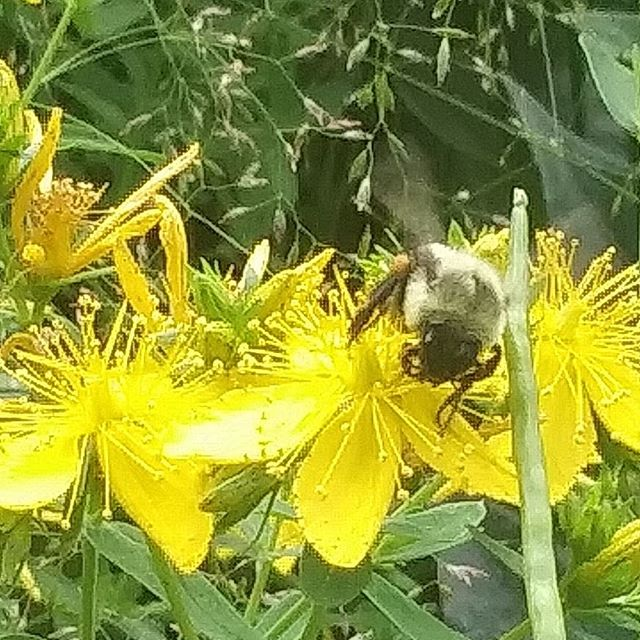 Bees and St Johns Wort are homies.  Eveb the Bees know how amazing St Johns wort is for their nerves. ✌❤🌿
