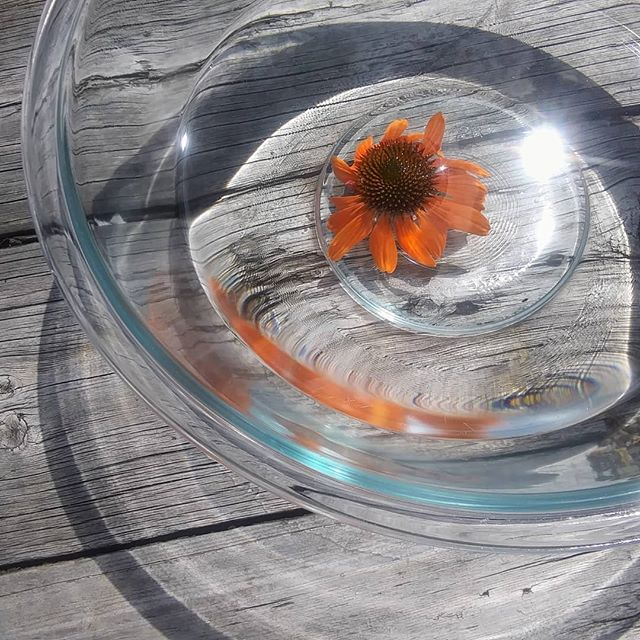 Starting my Echinacea flower essence