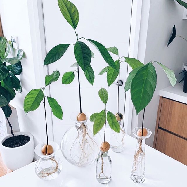 Plant goals for life!!! 😍 These avo little plants from @leafy.lane are so amazing!! I have tried sprouting an avocado pit a couple of times with no success! 🤦🏼♀️ I'm following @leafy.lane tutorial this time to see if I can do better! 🙌🏻 💚 📷 @leafy.lane • • • • • #avocadotree #plantgoals #vegan #vegana healthcoaches #liveinspired #mindbodysoul #holistliving #healthyhappylife #wellnessjourney #nourishyourself #greensmoothies #healthcoaching #healthcoachlive #healthyhabbits #livehealthy #healthyandhappy #nourishyourbody #foodmatters #freshflowers #healthybodyhealthymind #holistichealth #eatinghealthy #plants #cleaneating #iin #iinhealthcoach