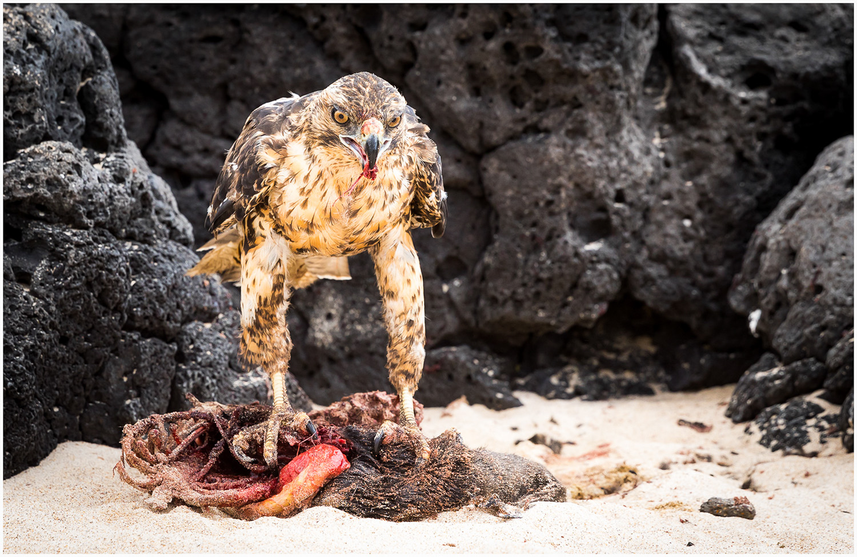 Open_Galapogas Hawk Breakfast_MartinRiley_ABgr_DPI Honour