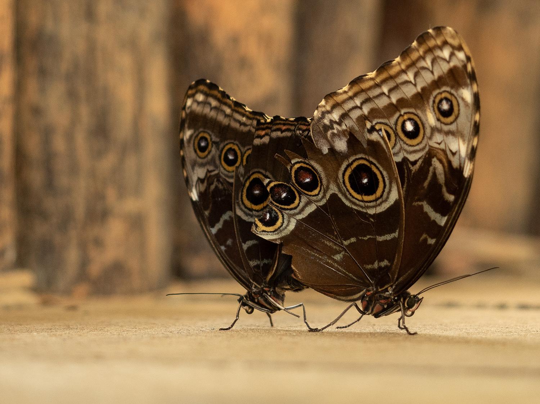 Open_Madame Butterfly - Pas De Deux _Jasmine Westerman_Bgr_DPI Merit