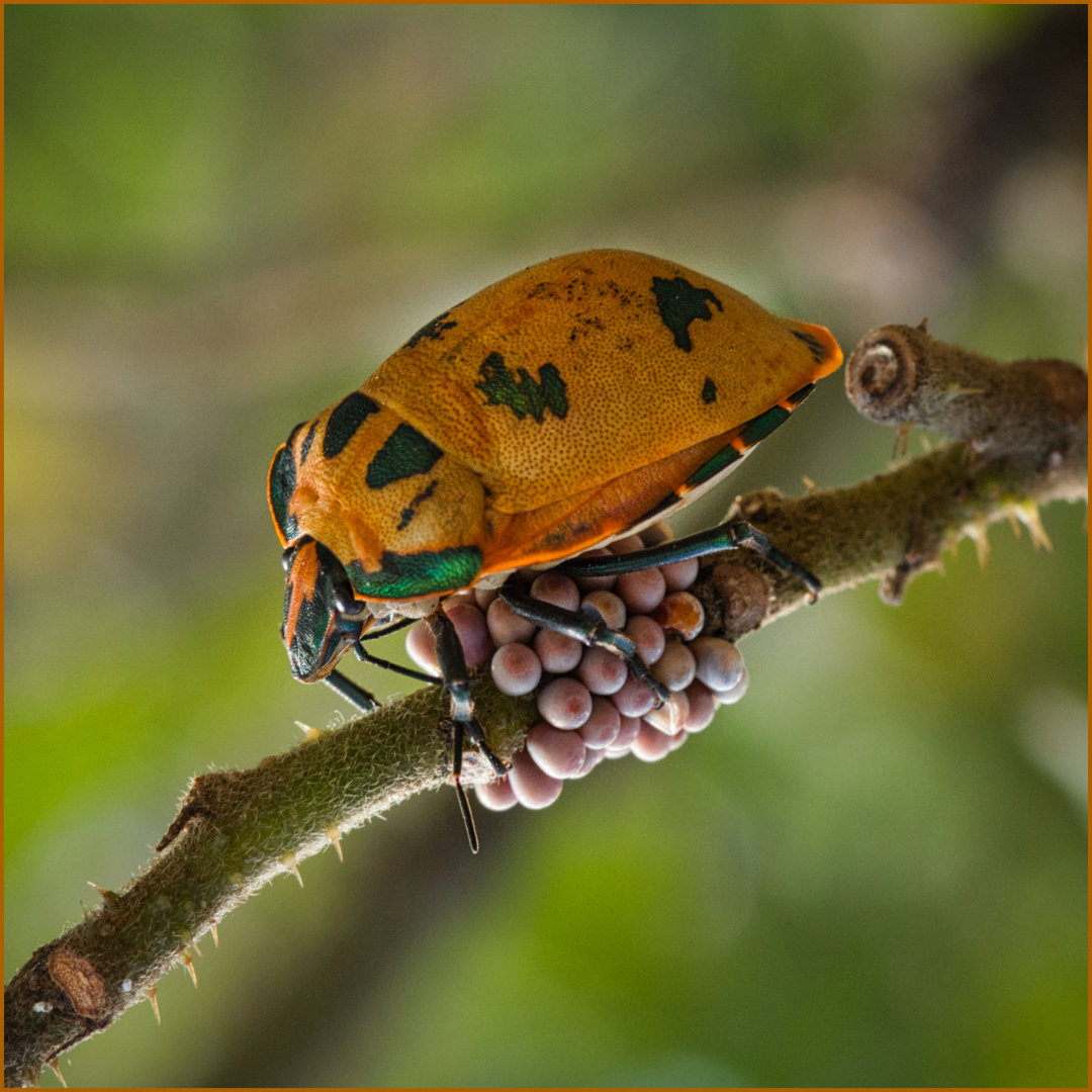 DPI_3rd_NATURE-The Next Generation of Cotton Harlequin Bugs-Solveig Gillis-Agrade