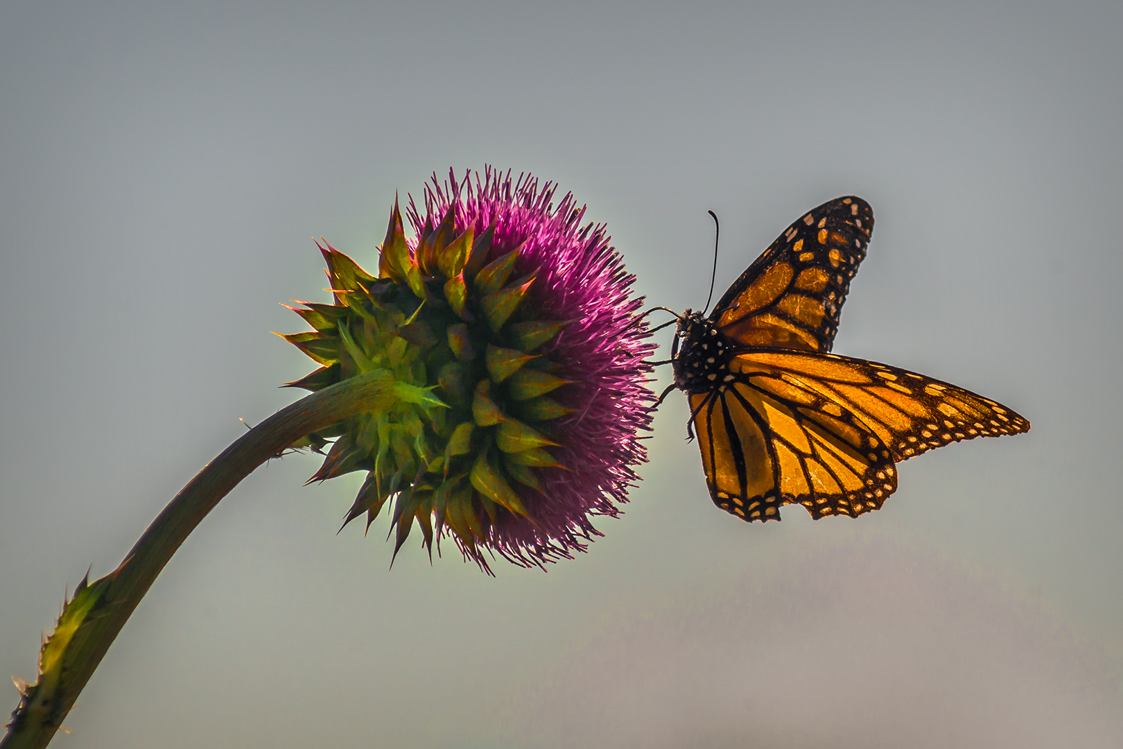 Nature_Monarch Butterfly on a Thistle_Ben Stoffl_A