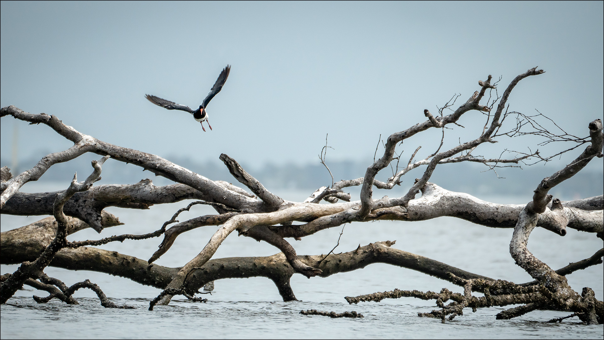 Open_Coming in to land - Pied Oystercatcher_Anne Pappalardo_Agr_Merit
