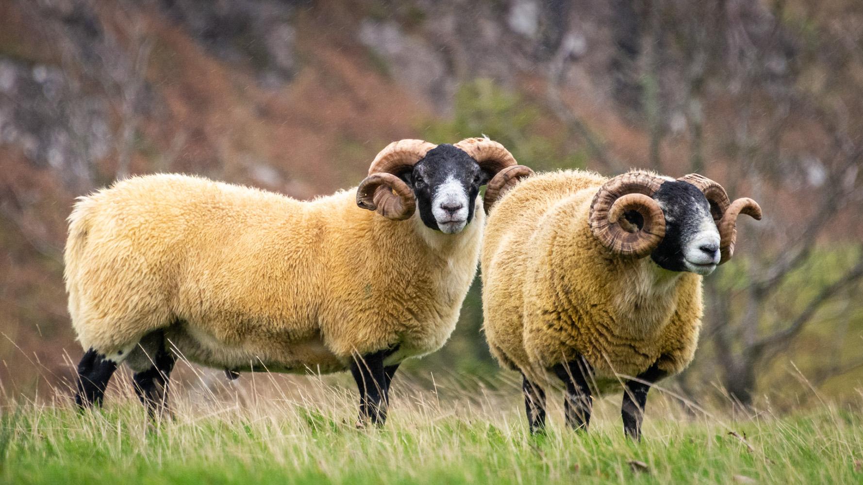 Open_Scottish Blackface Sheep_Esther Andrews_A grade_DPI_Merit
