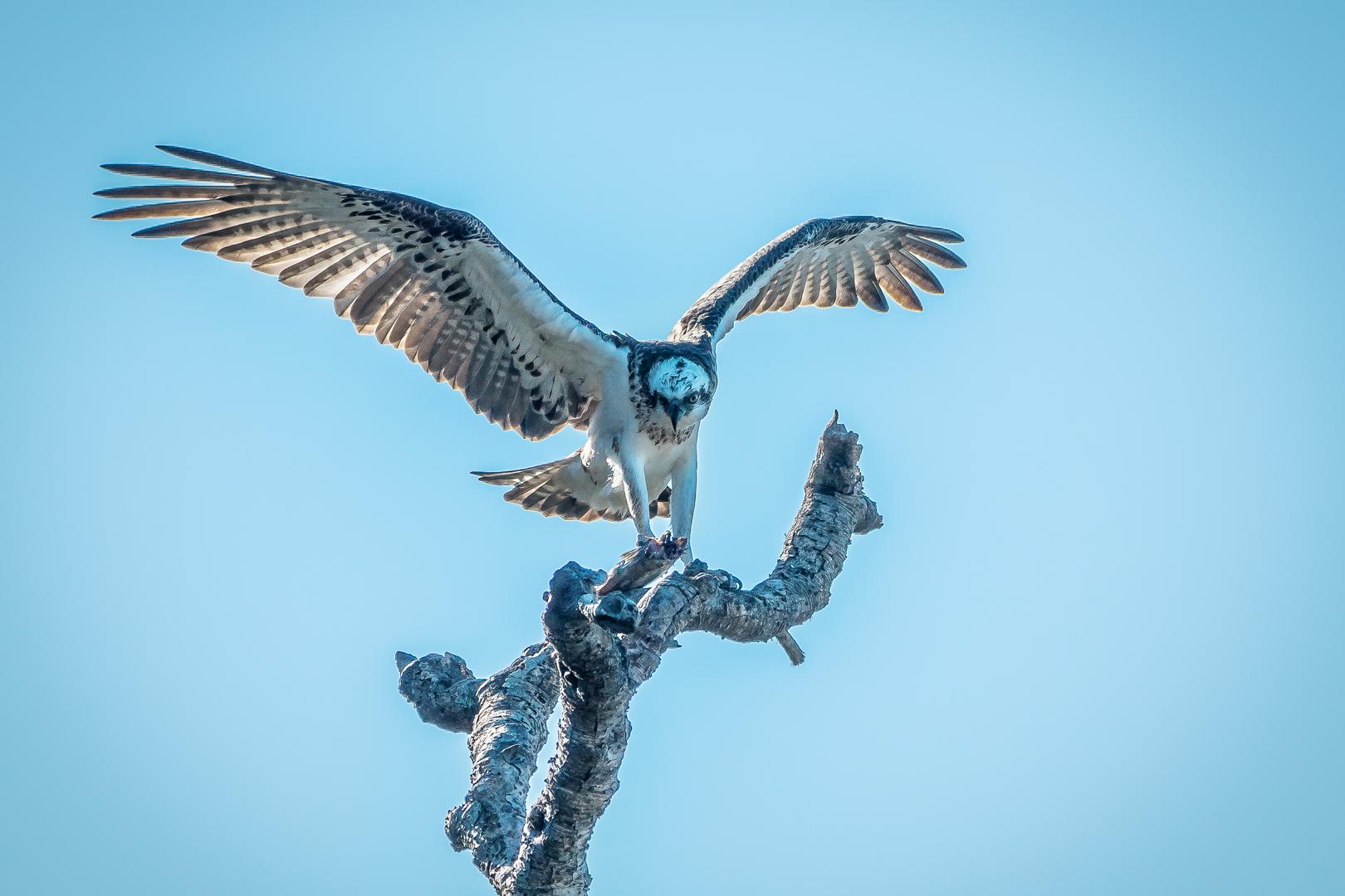 Open PRINT_Female- Osprey with Kill_Anne Pappalardo_Agr_MERIT