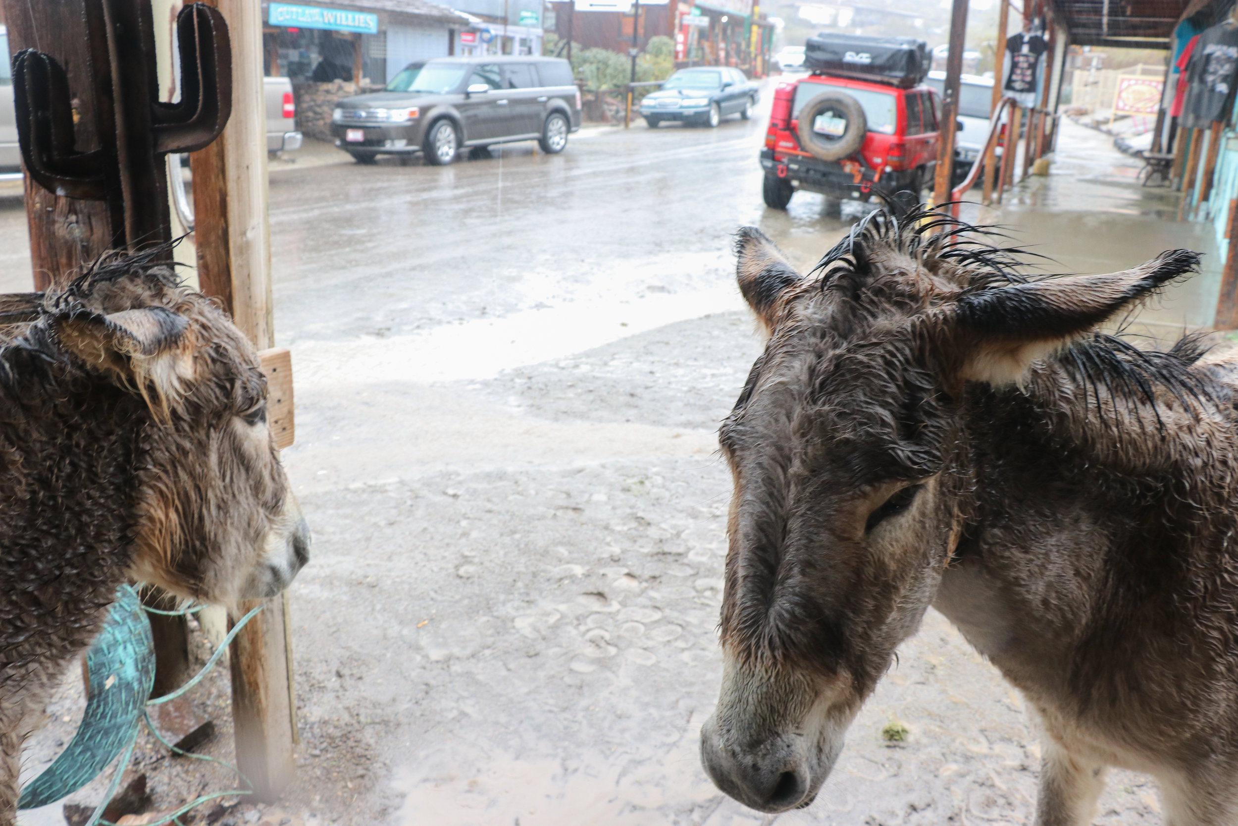 Some soggy burros roamed the streets of Oatman.