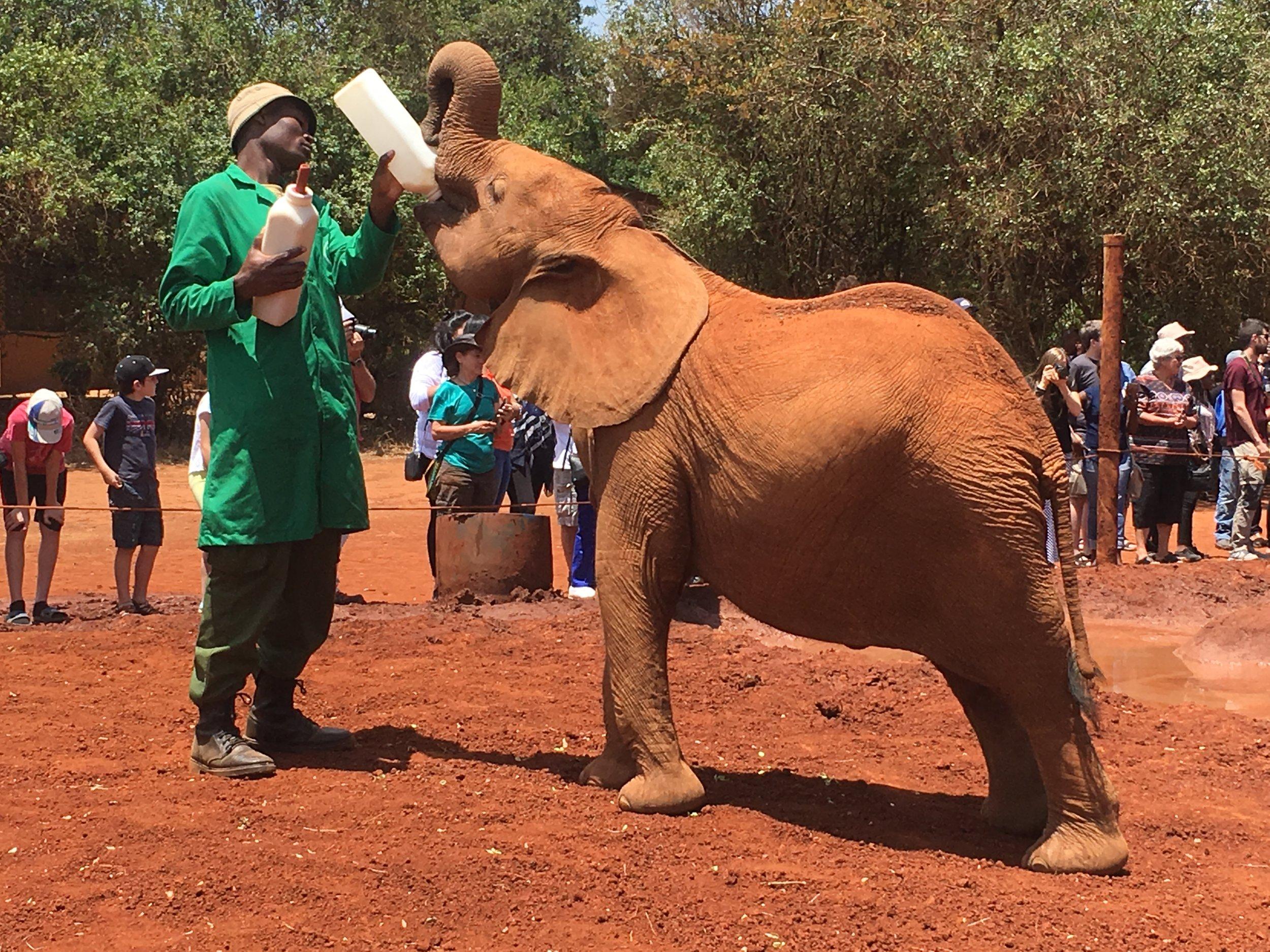 baby elephant feeding at Sheldrick's Elephant Orphanage