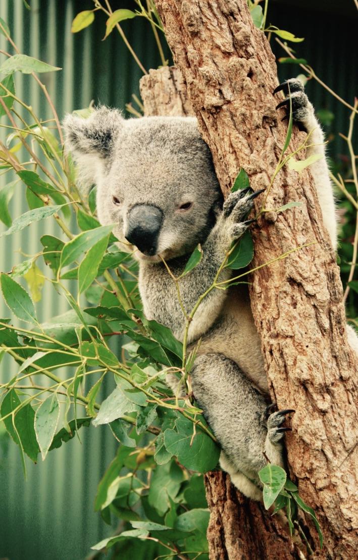 Koala clutching tree branch