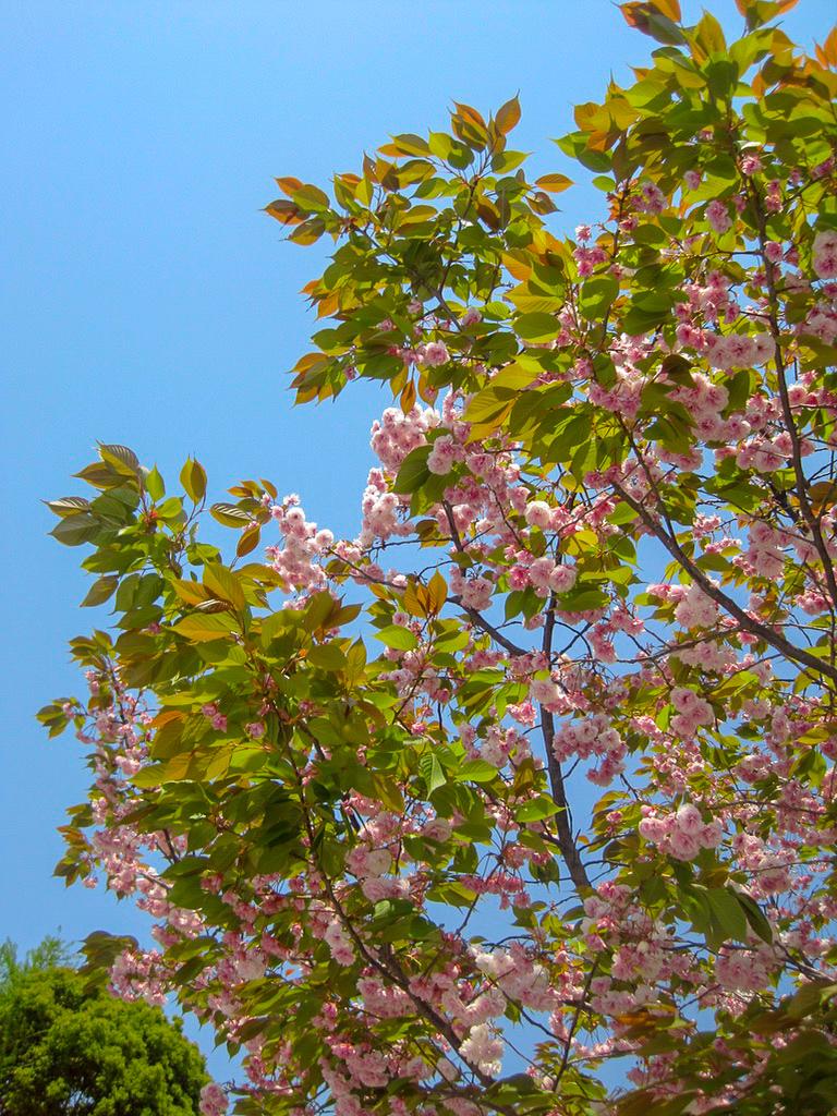 sakura blossoms tokyo