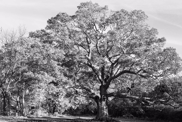This old tree. Glastonbury, CT.