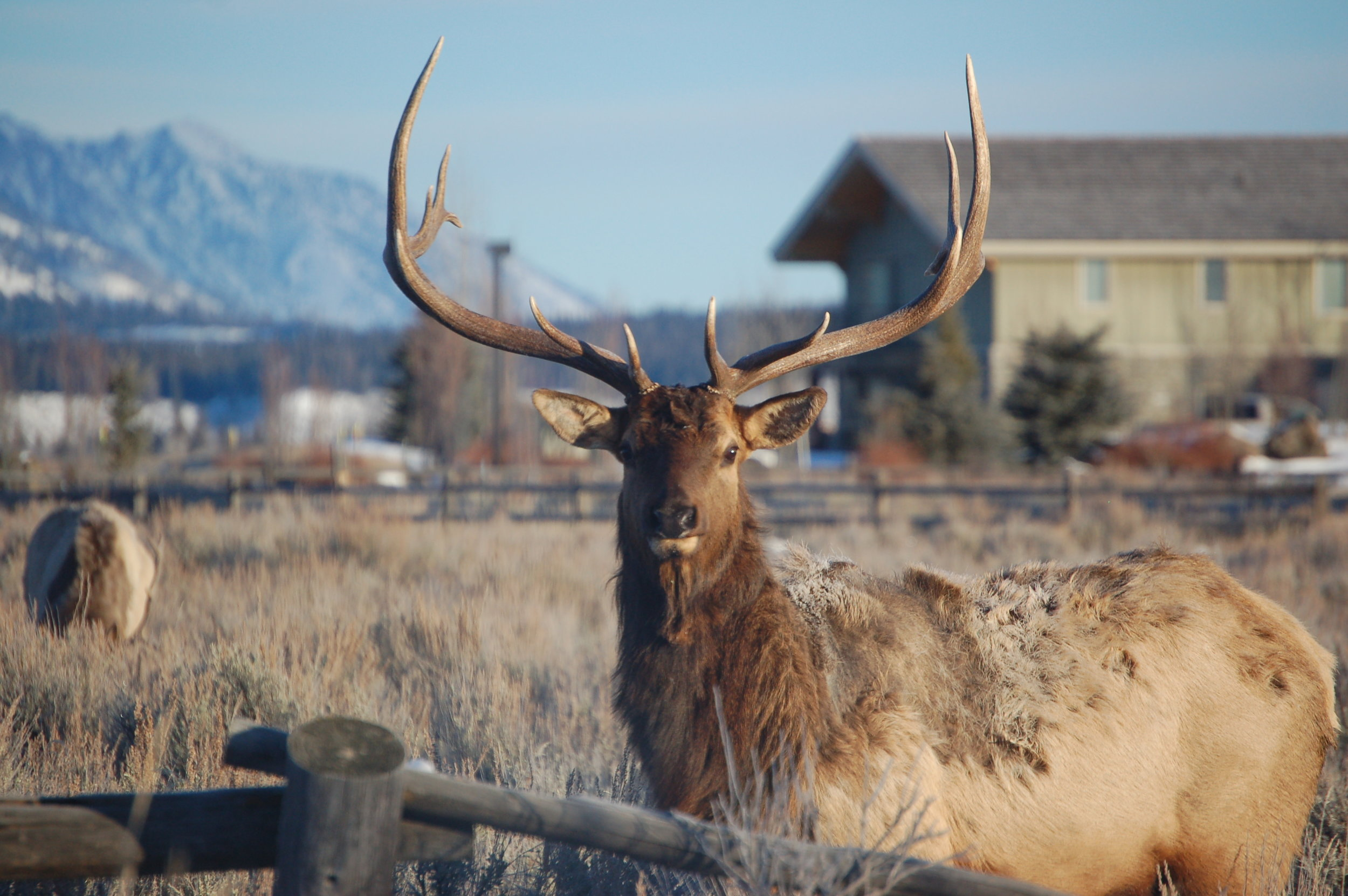 Backyard Elk - North Jackson Home | © Candace Woodbury