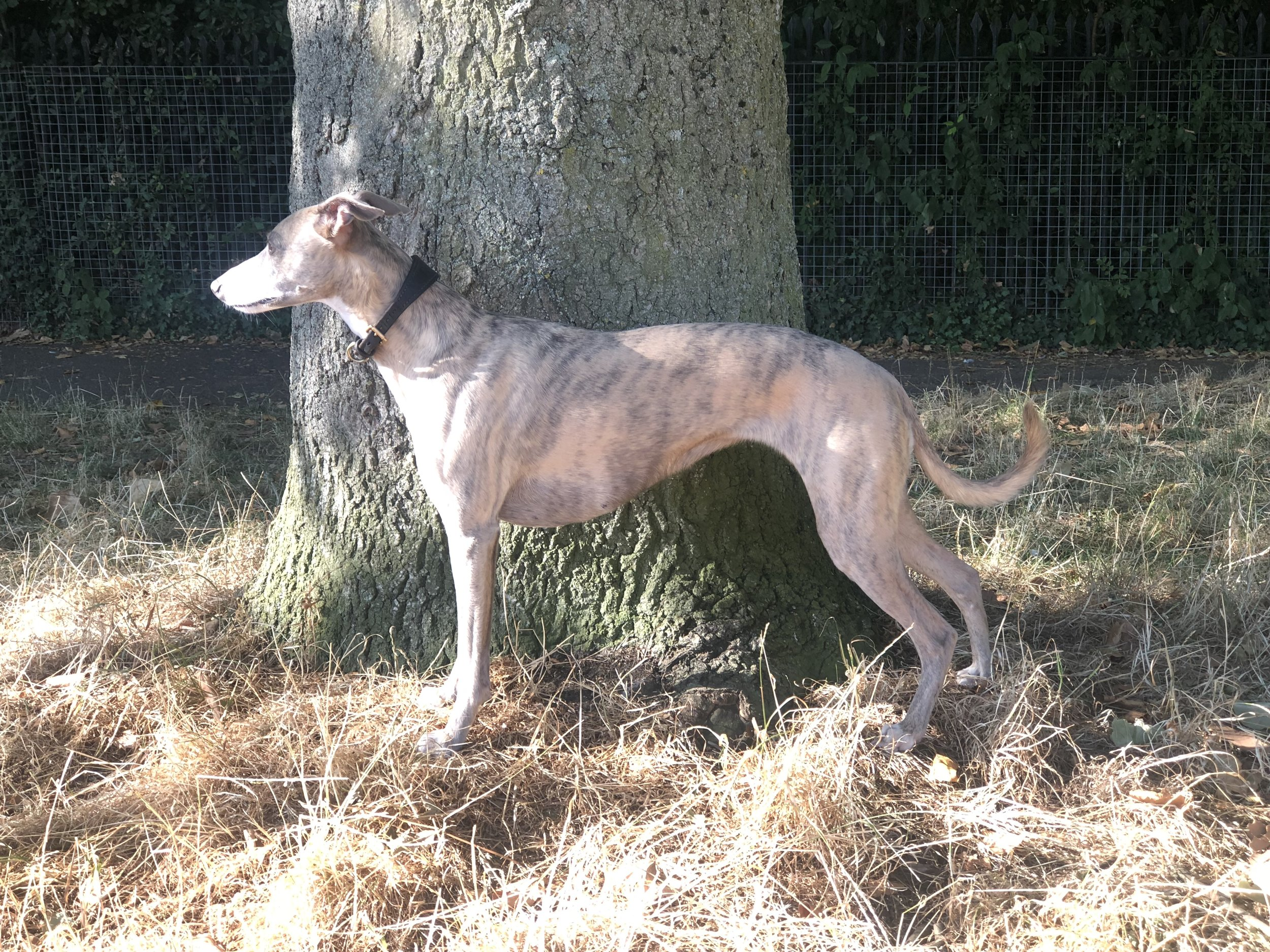 iPhone photography | whippet | photographer