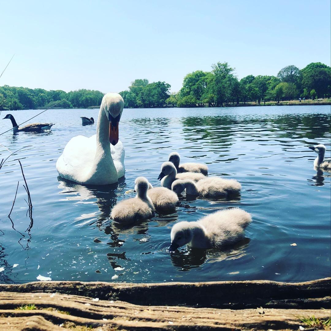 iPhone photography | swan | photographer