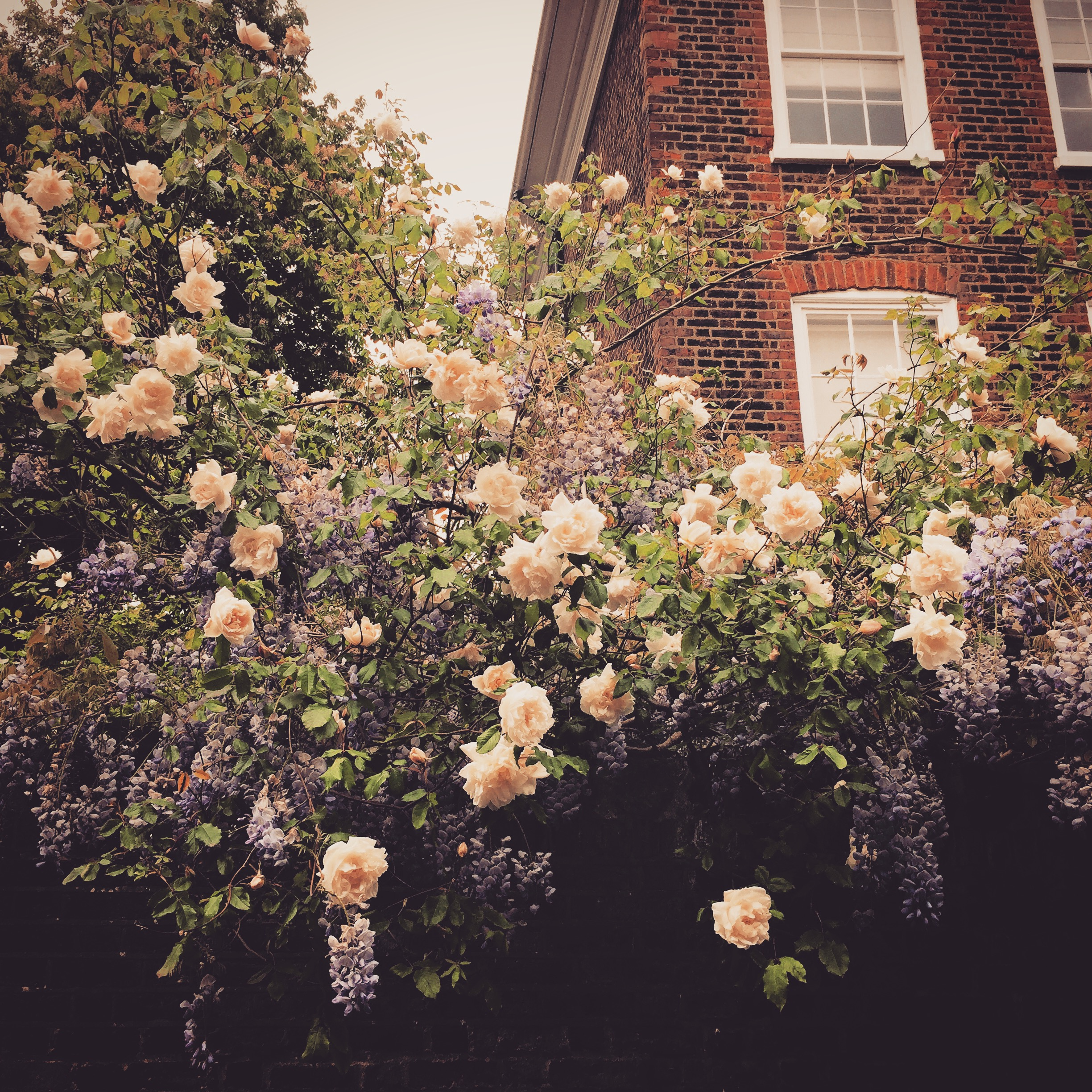 iPhone photography | roses | photographer