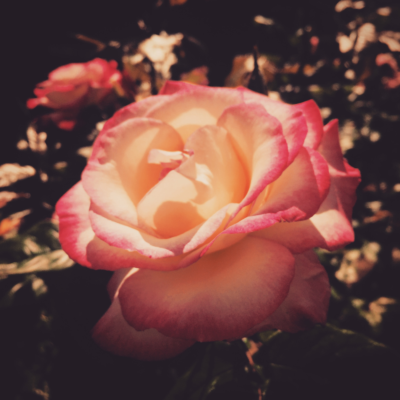 iPhone photography | rose | photographer