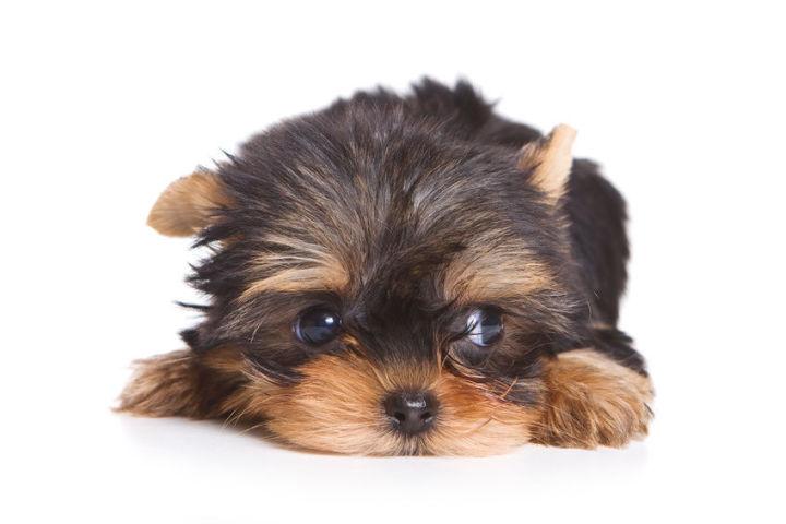 Terrier valp.jpg