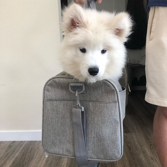 Henlo Frens dis is @reggiethecloud and I'm taking over my mAHms feed today. Make sure to Toon into my stories cause I'm cute cotton BOL and fallow me @reggiethecloud #bigfloofEnergy #samoyed #puppy