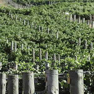 vinifera2.jpg
