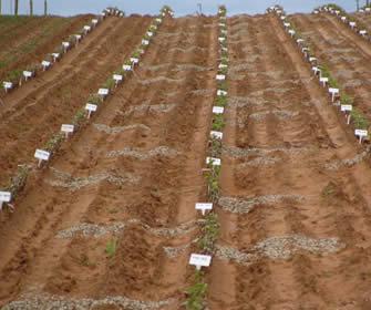 rootstocktrial1.jpg