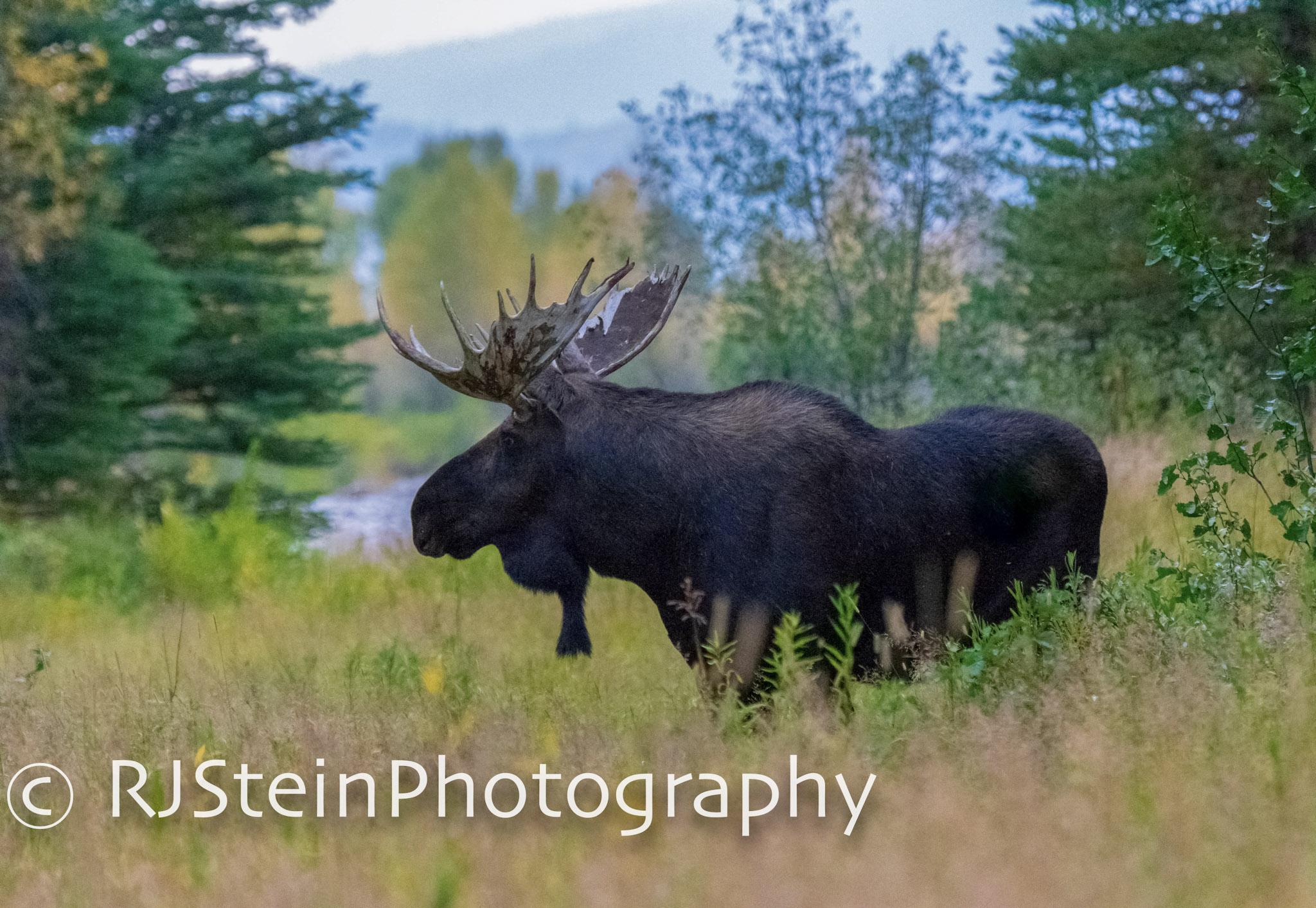 shiras bull moose, wyoming, 2018