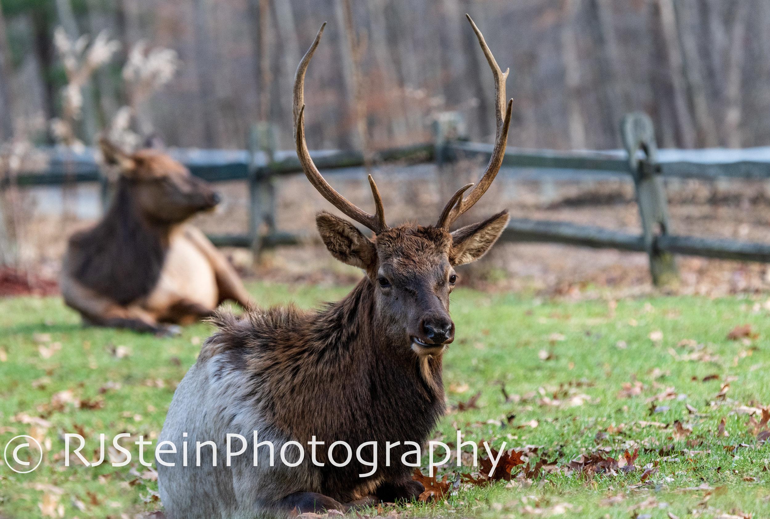resting elk, pennslyvania, 2018