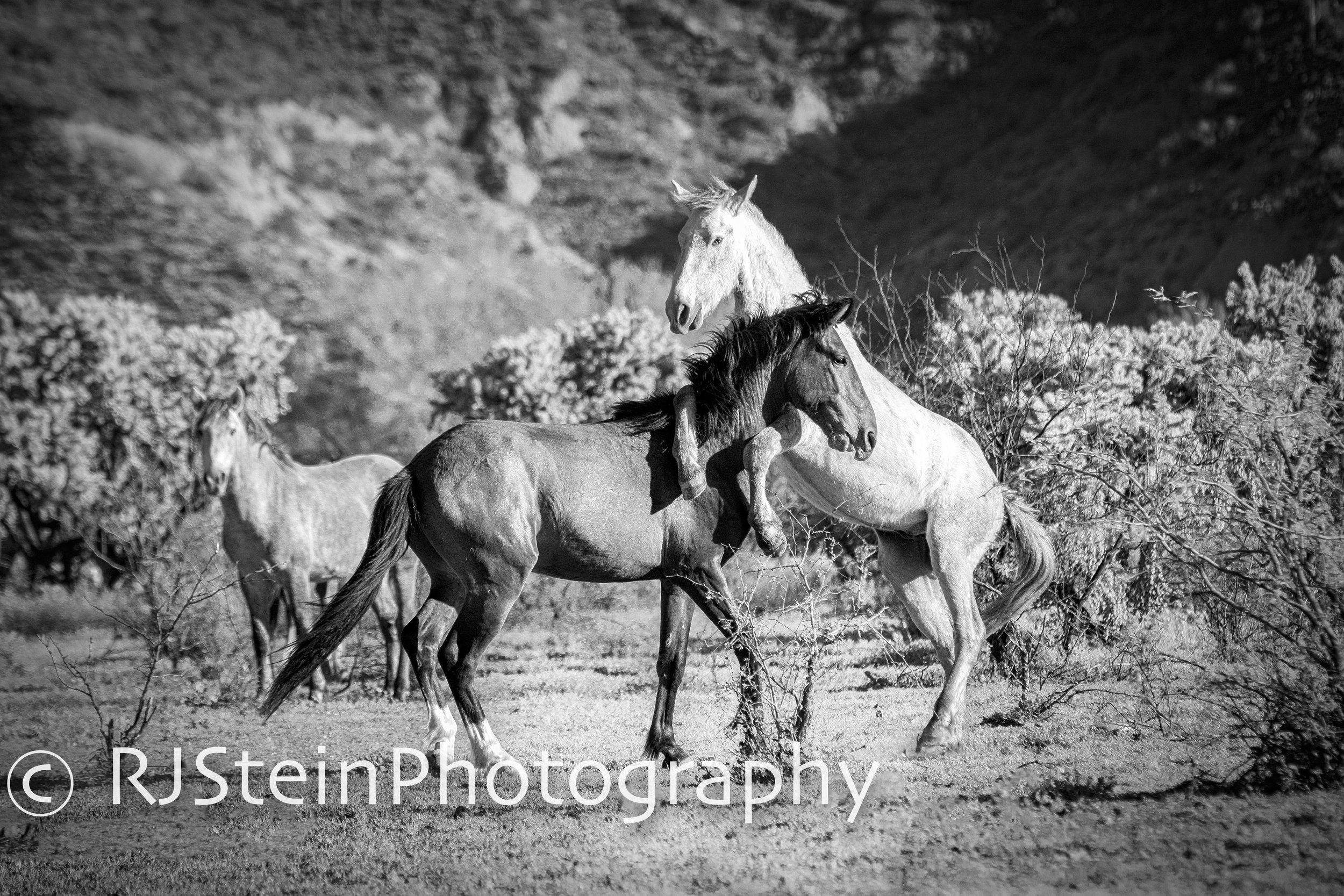 playful stallions, arizona, 2019