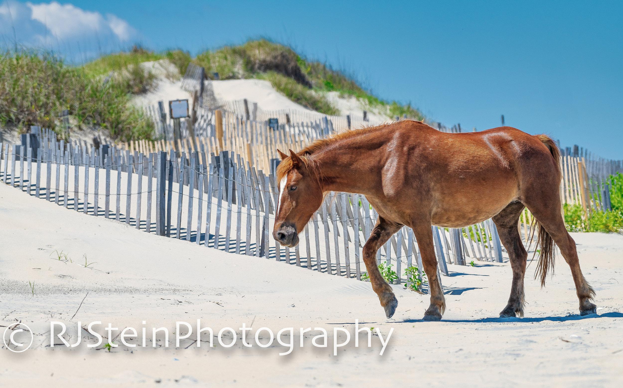 wild horse on the dune, north carolina, 2019