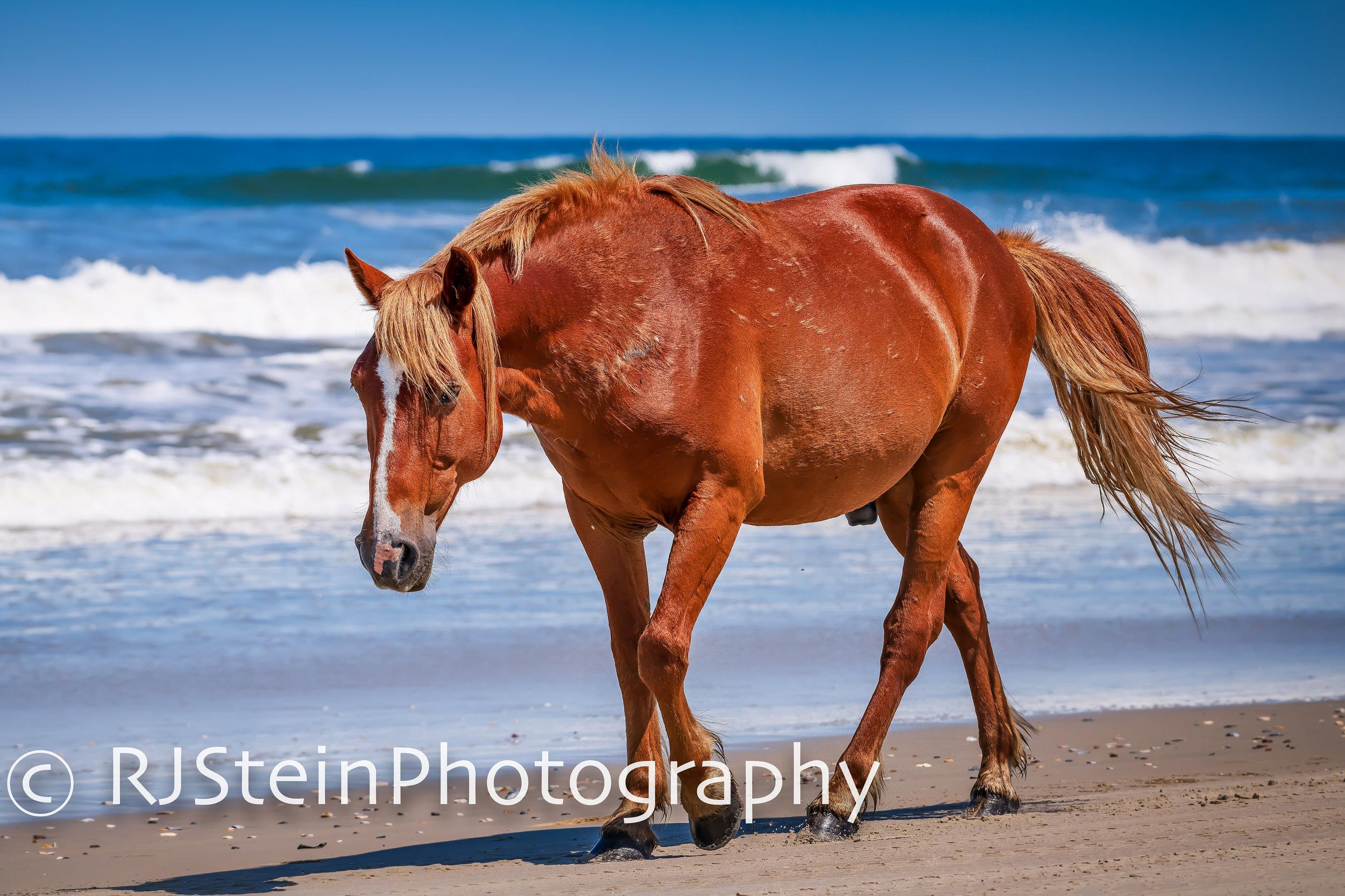 lone stallion on the beach, north carolina, 2019