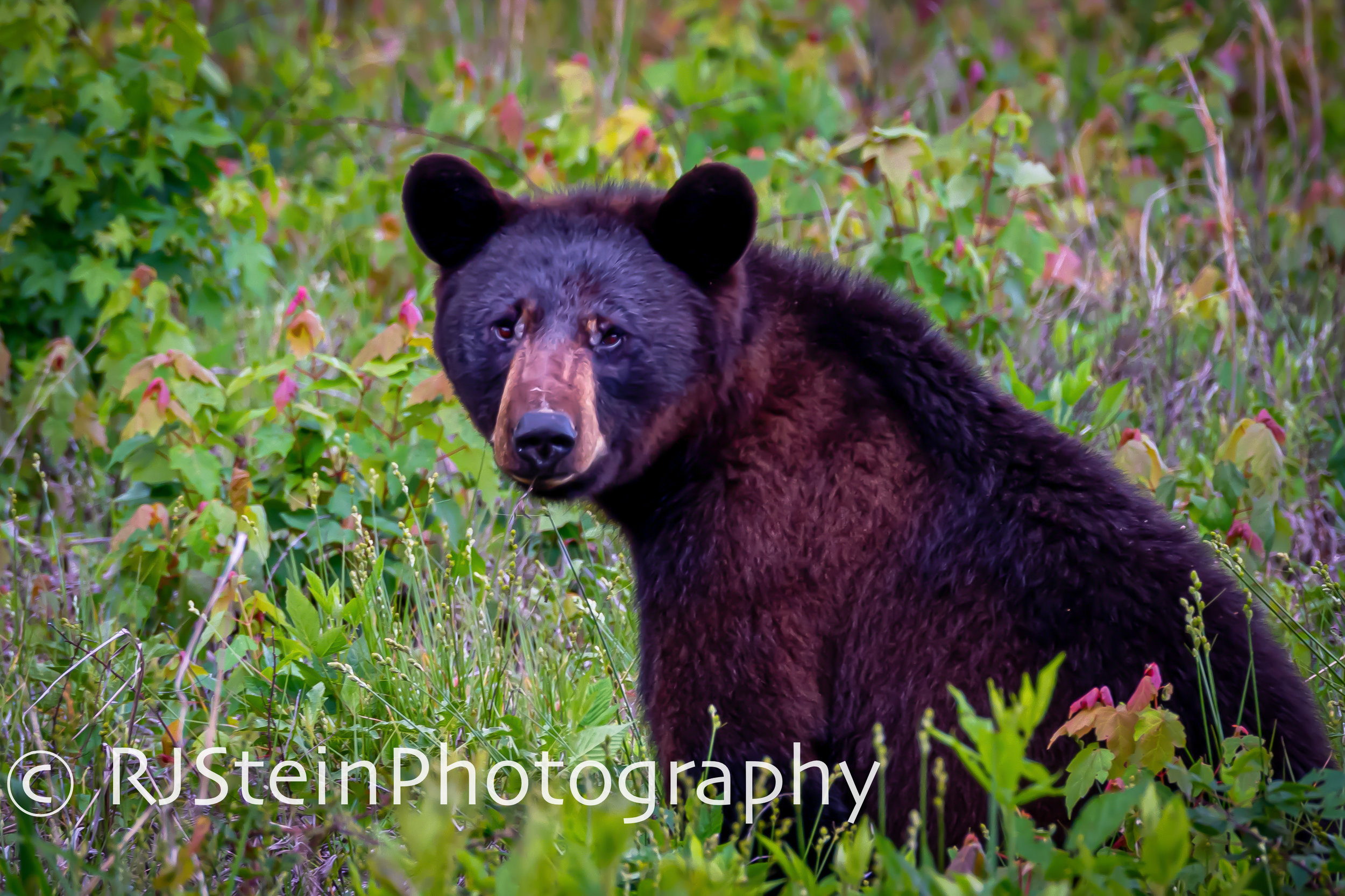 black bear in a field, north carolina, 2019