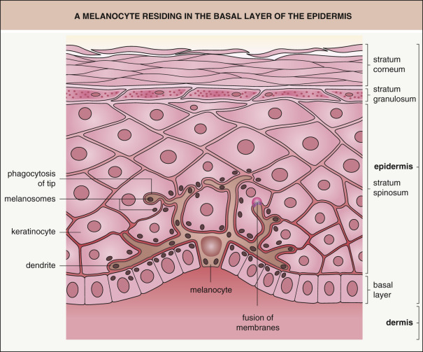Figure 1 | Melanocytes are found in the basal (bottom) layer of the epidermis, between 0.03-0.06mm from the surface of the facial skin, depending on the area of the face.