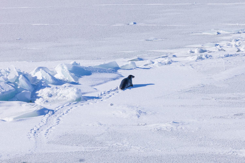 En gråsäl tar sig fram på Bottenvikens istäcke