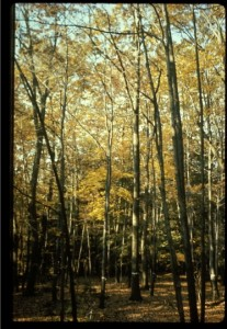 """In the late 1960's foresters really did not know how these mixed species, oak-dominated forests developed. Most people thought they were uneven-aged, but there were not small oaks growing into the overstory. My Ph.D. advisor (""""academic father""""), Professor David M. Smith, felt they were even-aged, stratified stands based on his long-term observations."""