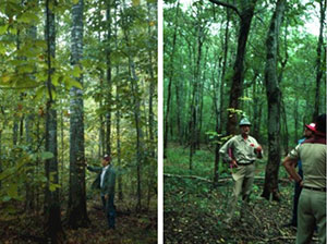 In the Southeastern U.S., E.C. Burkhardt expressed a concern that we were losing red oaks in our alluvial floodplain forests. John Stanturf of the Hardwood Research Laboratory in Stoneville, Mississippi initiated a study that Burk, Danny Skojac, and I did. We confirmed that the red oaks, once the dominant tree in these forests, are indeed not regenerating and showed the major problems was that these oaks need full sunlight to survive and dominate other species (left picture). Since these stands are almost always harvested by partial cutting, more shade tolerant species such as sugarberry (right picture) is replacing oaks as the dominant species.