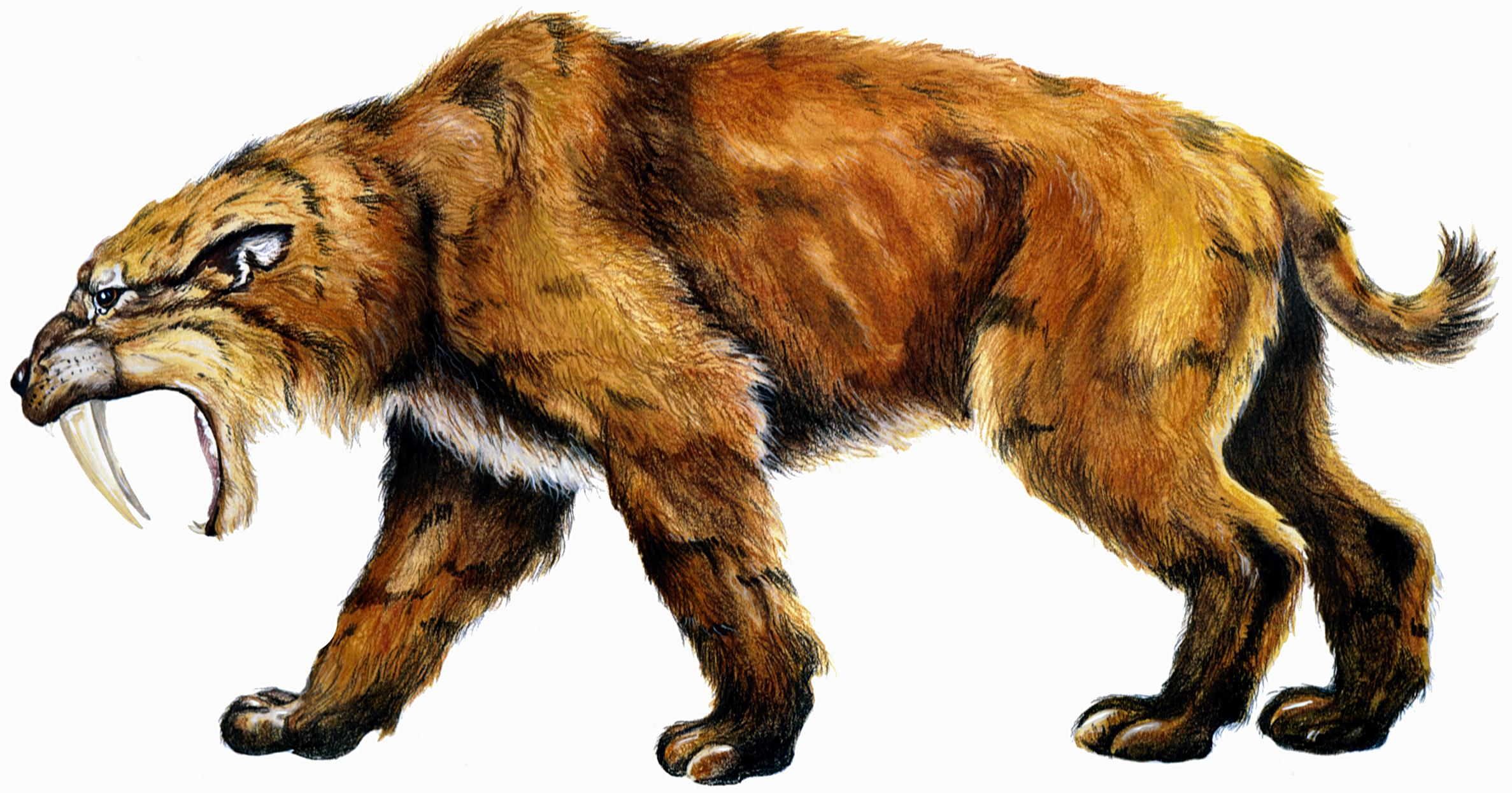 Saber-toothed cat (Smilodon fatalis). Credit: Indiana State Museum, via:  Indiana University