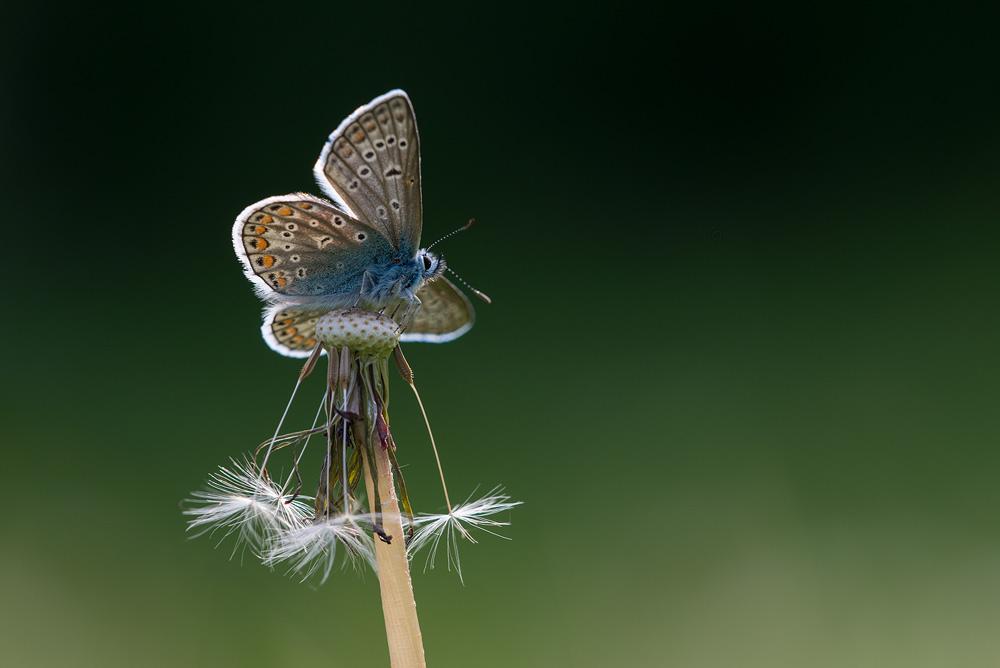 Almindelig blåfugl (Femsølyng)