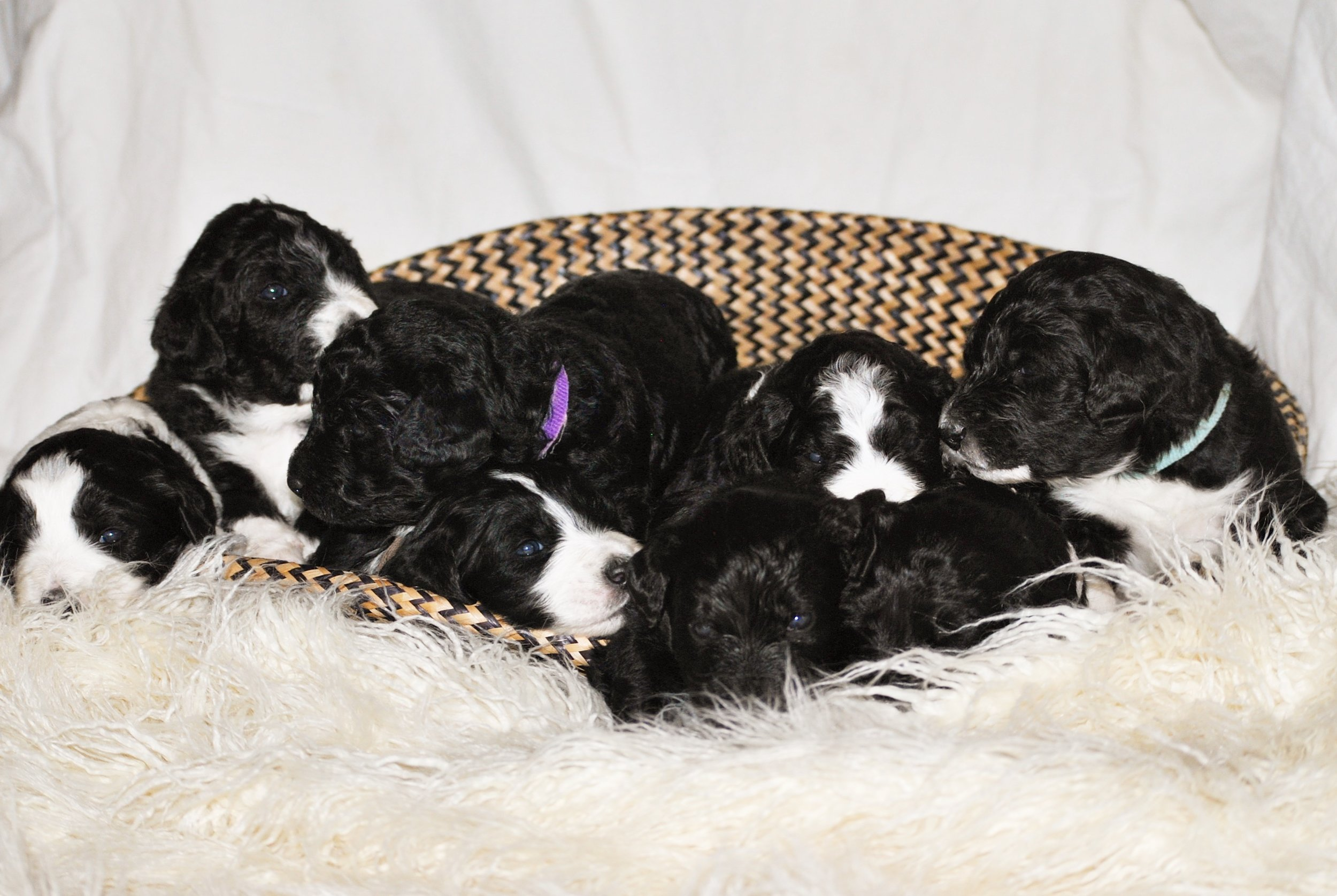 All 9 puppies from the Winter 2018 litter!