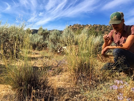 Jack kneeling next to the last few  Stipa hymenoides  bunchgrasses at Quail Springs in the Cuyama Valley. We are currently working on cracking the code of this difficult-to-germinate bunchgrass in hopes of increasing their presence on this high desert rangeland. July 2019.