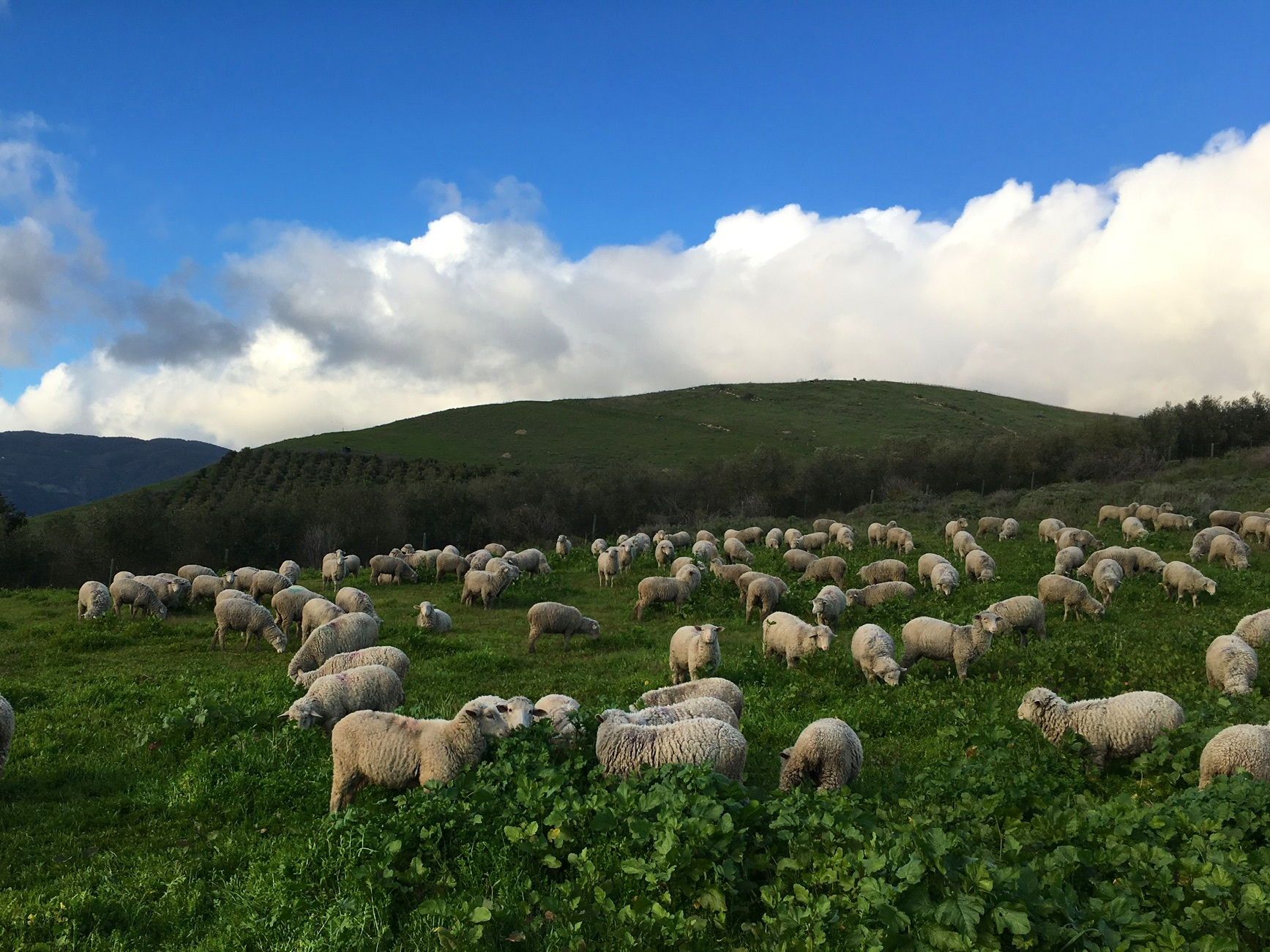 Our sheep graze at Orella Ranch in Goleta, CA. At this density, they graze plants uniformly including thoroughly eating down the broadleaf mallow and mustard that has taken over this pasture. March, 2019.