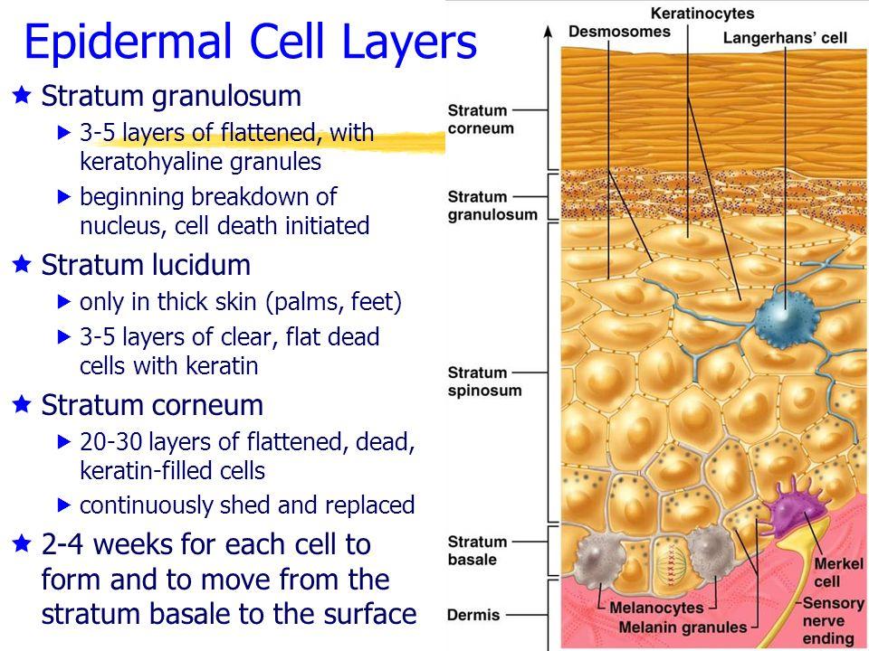 Epidermal+Cell+Layers+Stratum+granulosum+Stratum+lucidum.jpg
