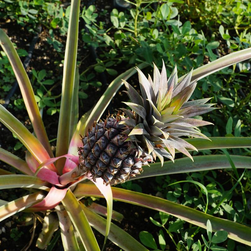 Backyard farming in the tropics