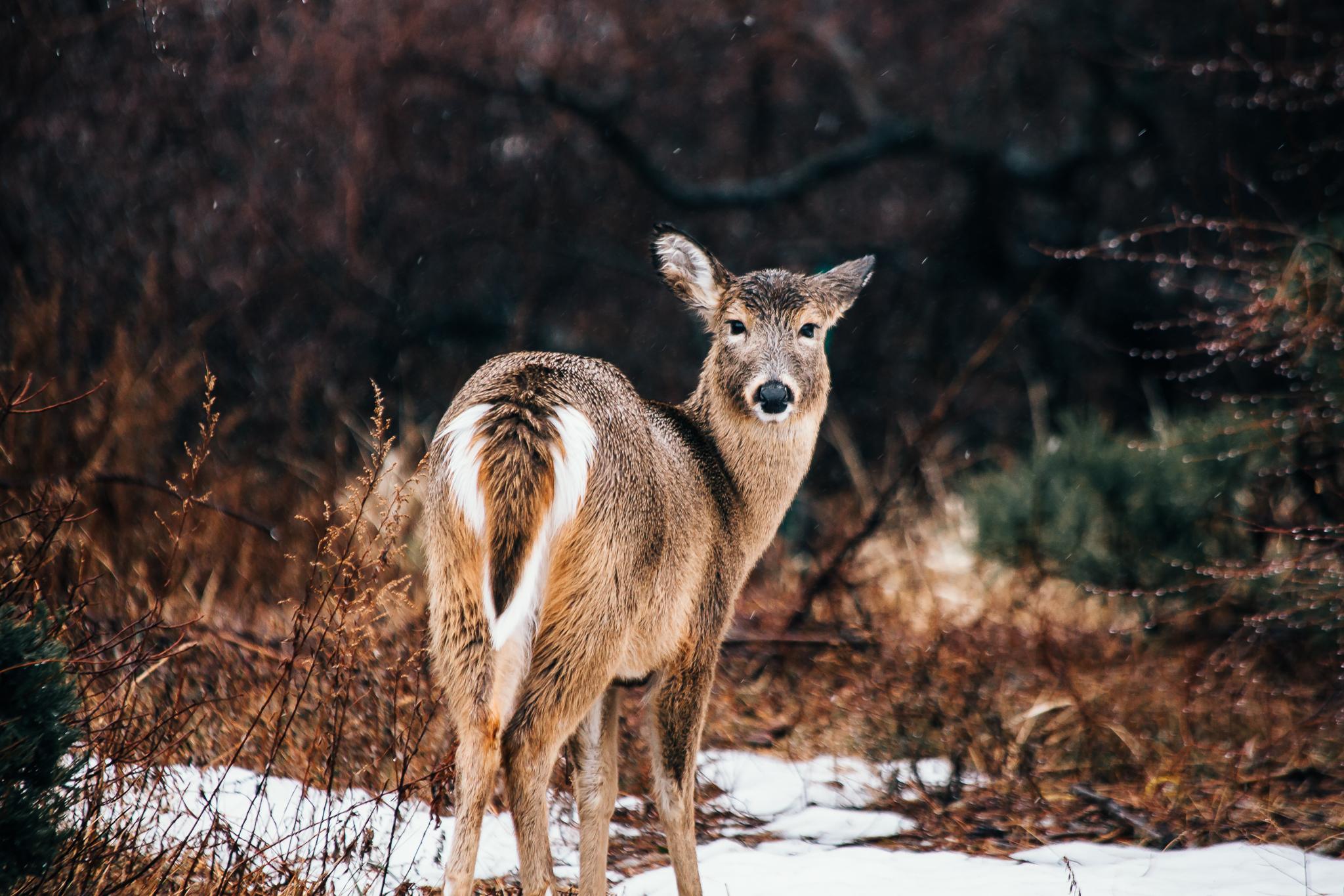 deer-0227.jpg