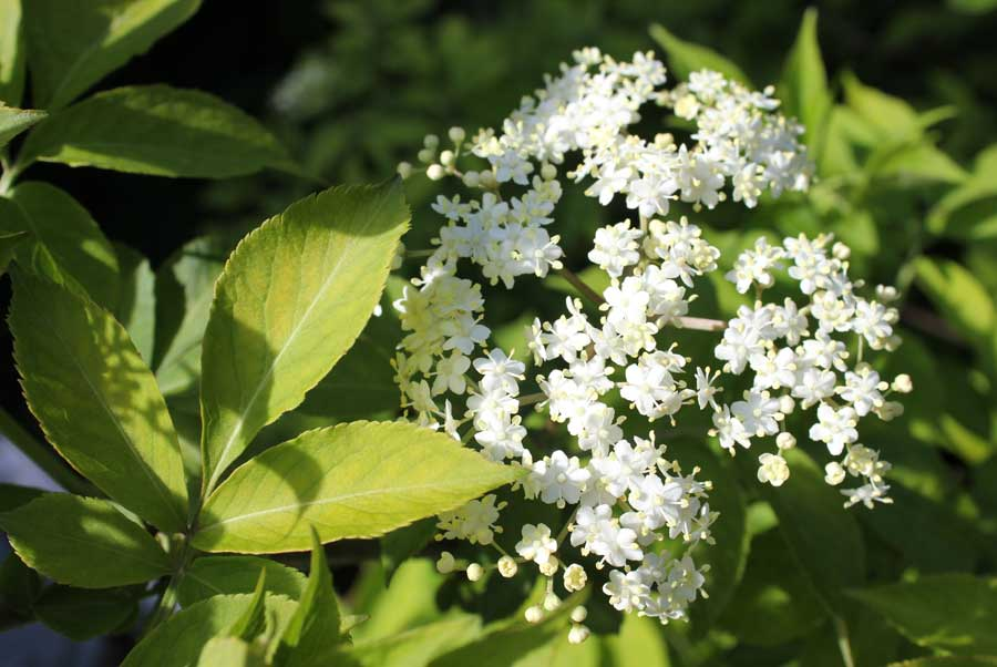 elderflower-blossom-close-2