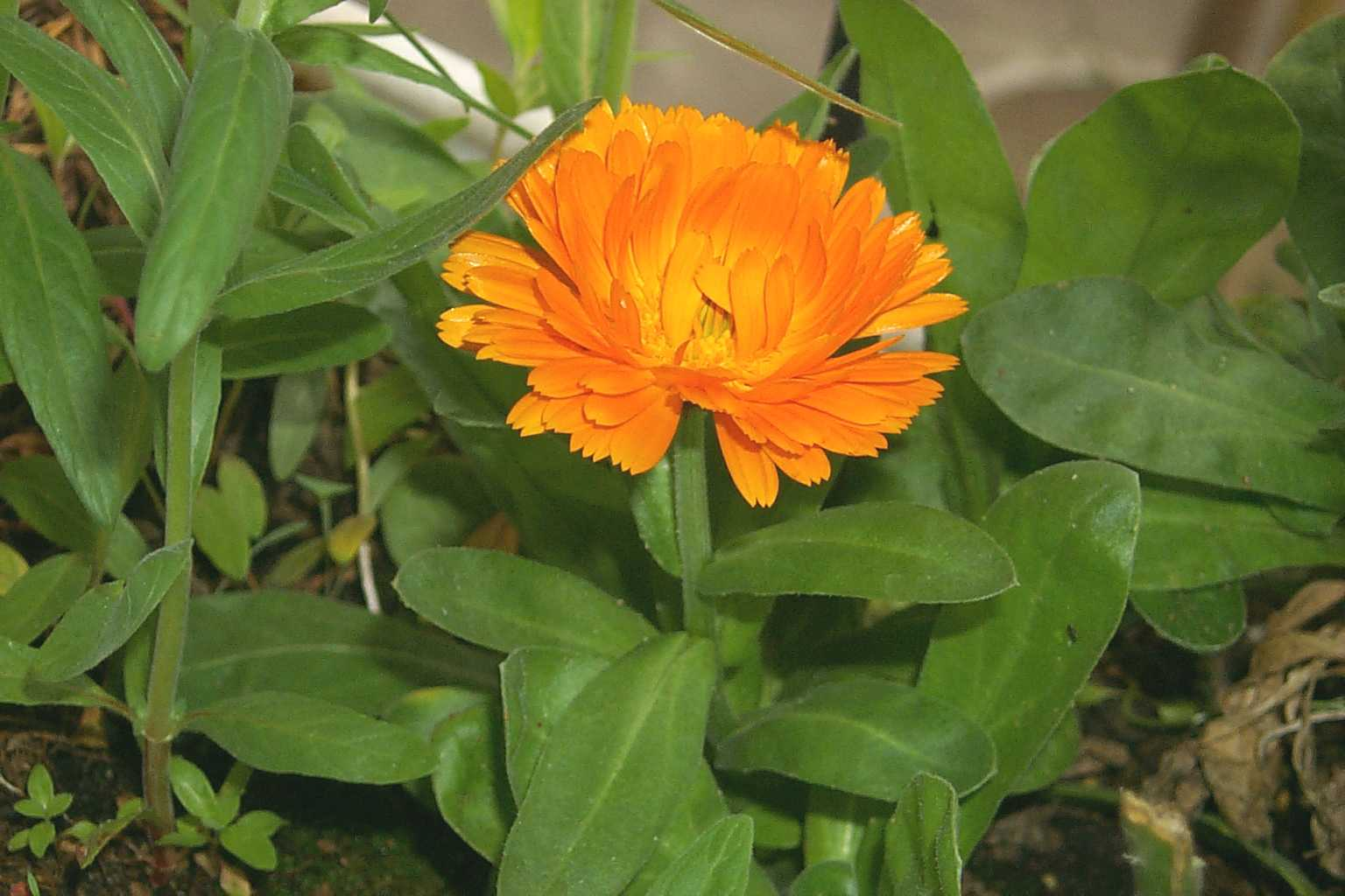 Calendula flowers, amazing for all sorts of skin irritaions, from new tattoos to acne.
