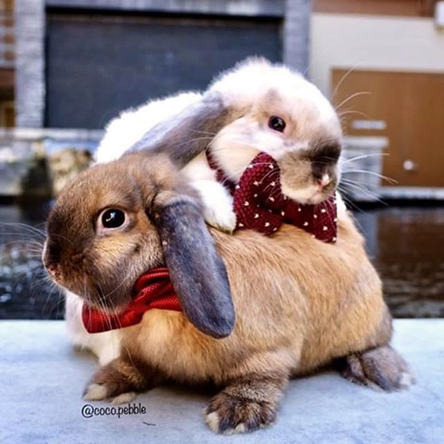 Coco and Pebble go together. Like bowties and bunnies. Marshmallows and hot chocolate. Couches and pillows. Hugs and kisses. Empathy and humanity. ˙ ˙ ˙ ˙ ˙ ˙ ˙ ˙ via @coco.pebble #therapypets #mentalhealth #bunniesworldwide