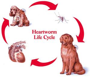 heartworm-life-cycle.jpg