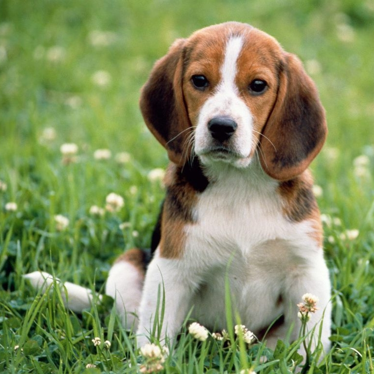 Beagle-beagles-17008727-1024-768.jpg