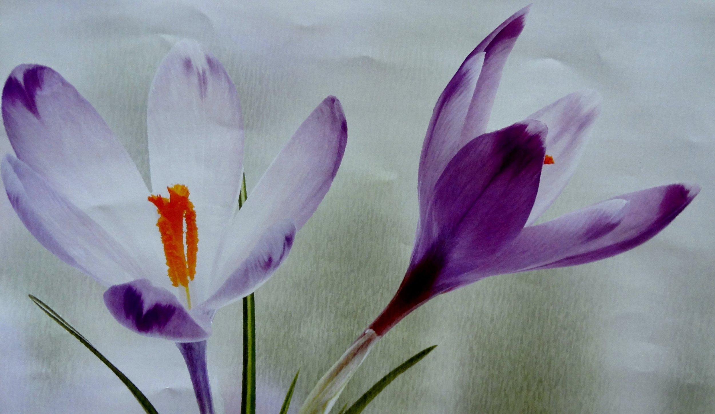 saffron-flower-250561.jpg